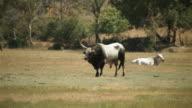 Bull Maremmana breed video