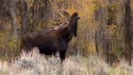 Bull Moose in Rut video