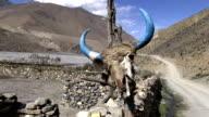 Bull scull near farm in Annapurna region, Himalayas, Nepal. video