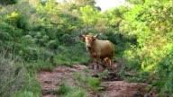 Bull starring to camera video