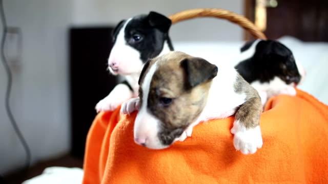 Bull terrier puppies video
