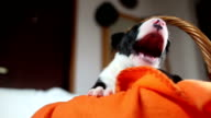 Bull terrier puppies yawn video