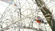 Bullfinch Sitiing On Branch video