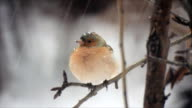Bullfinch under snow video