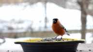 Bullfinches eat the seeds in the feeder video
