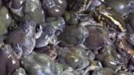 Bullfrog video