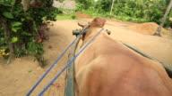 Bullock Cart video