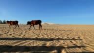 Bulls travel through sands. video