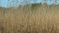 Bulrush at the wind video