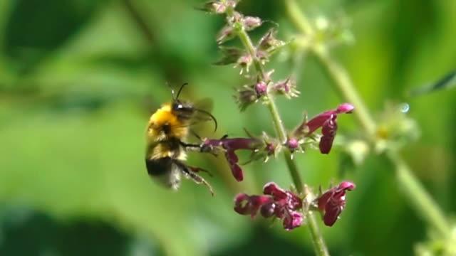 Bumble bee flying bumblebee video