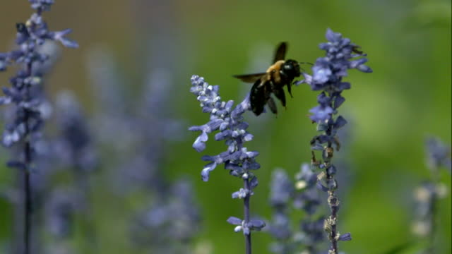 Bumble Bee Flying in Super Slow Motion 4 video