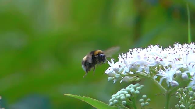 Bumble bee flying landing video