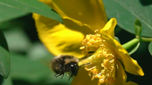 Bumble bee flying video
