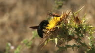 Bumble bee gathering nectar video