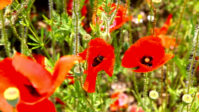 Bumble bee pollinating red poppies video