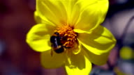 Bumble Bee video