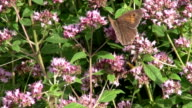 Bumblebee and butterfly on oregano video