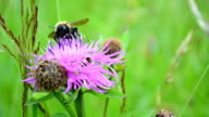 Bumblebee and flower video