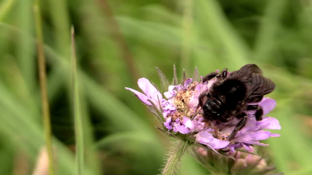 Bumblebee (Bombus) collect nectar from pink flower bloom video