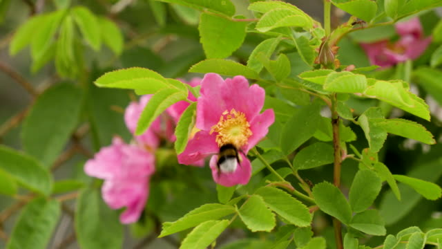 Bumblebee collects nectar from pink flowers of wild rose. Footage 4k video video