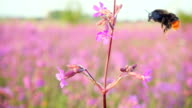 Bumblebee collects nectar from pink flowers, slow motion video