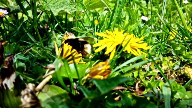 Bumblebee eating pollen, closeup video