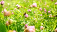 Bumblebee flies away from camera. video