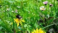 Bumblebee gathering pollen, closeup video
