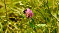 Bumblebee gathers pollen and flies away towards camera. video