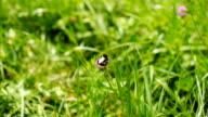Bumblebee gathers pollen and flies away. video