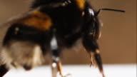 Bumblebee macro (1080p) video