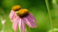 Bumblebee on a Echinacea flower video