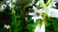Bumblebee on Campanula flower video