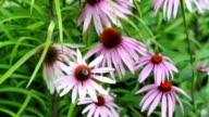 Bumblebee on flower video
