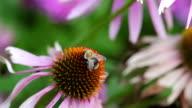 DOUBLE: Bumblebee on flower video