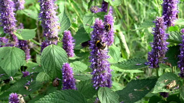 Bumblebee on medical anise hyssop flowers video