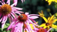 Bumblebee on Pink Echinacea Flower video