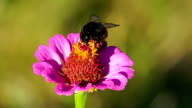 Bumblebee on the Zinnia Flower video