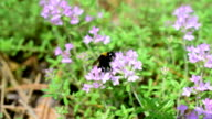 Bumblebee on thyme flowers video