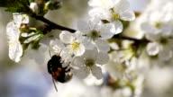 Bumlebee Pollinating Flowers Of Cherry Tree video