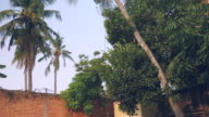 Bunch of coconut brought down safely from a palm tree video