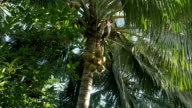 bunch of coconuts carried down a palm tree video
