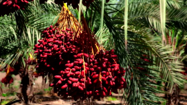 Bunch of dates. Close up video