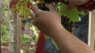 Bunch of grapes being picked from row video