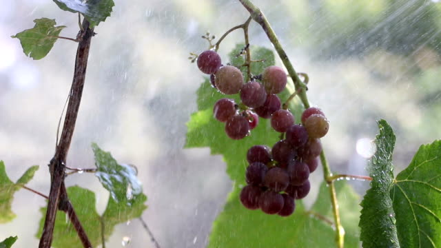 A Bunch of Grapes in The Rain video