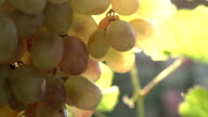Bunch of Grapes in the Sun video
