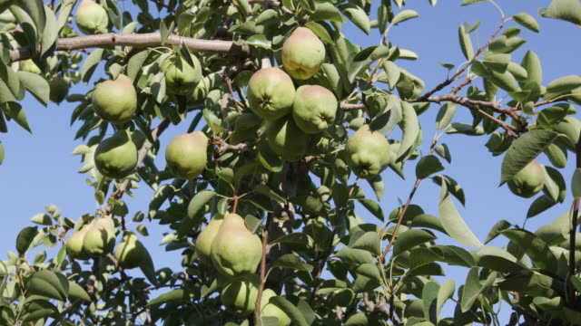 Bunch of pears growing on a fruit tree video