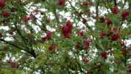 Bunch of Sorbus fruits bloomed on its trees FS700 4K video