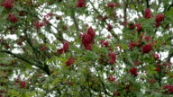 Bunch of Sorbus fruits bloomed on its trees video