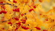 Bunch of the red berries and yellow leaves of a mountain ash. Dolly shot. video